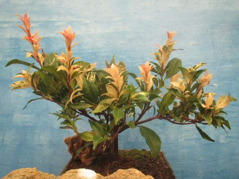 Trachelospermum 1